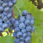 Great Grapes of Vermont