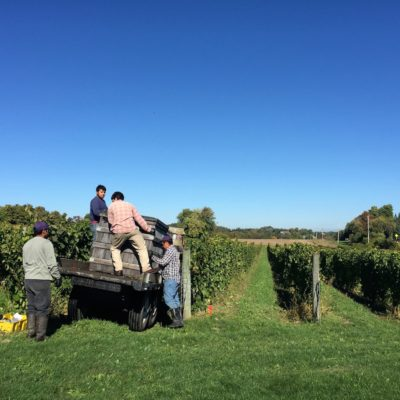 Harvesting Riesling in the Finger Lakes