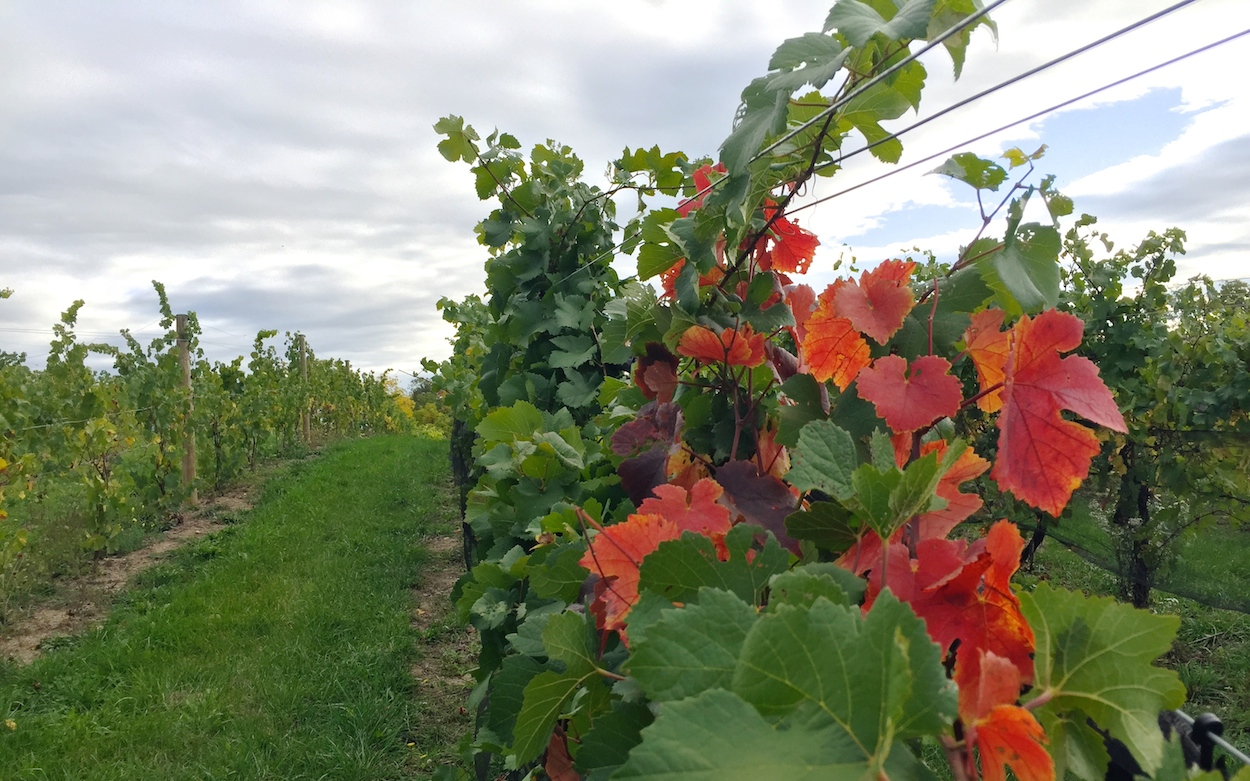 vines changing colors